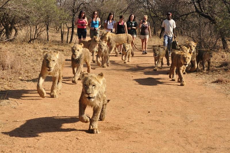 Passeio com os leões na Reserva Ukutula em Johanesburgo